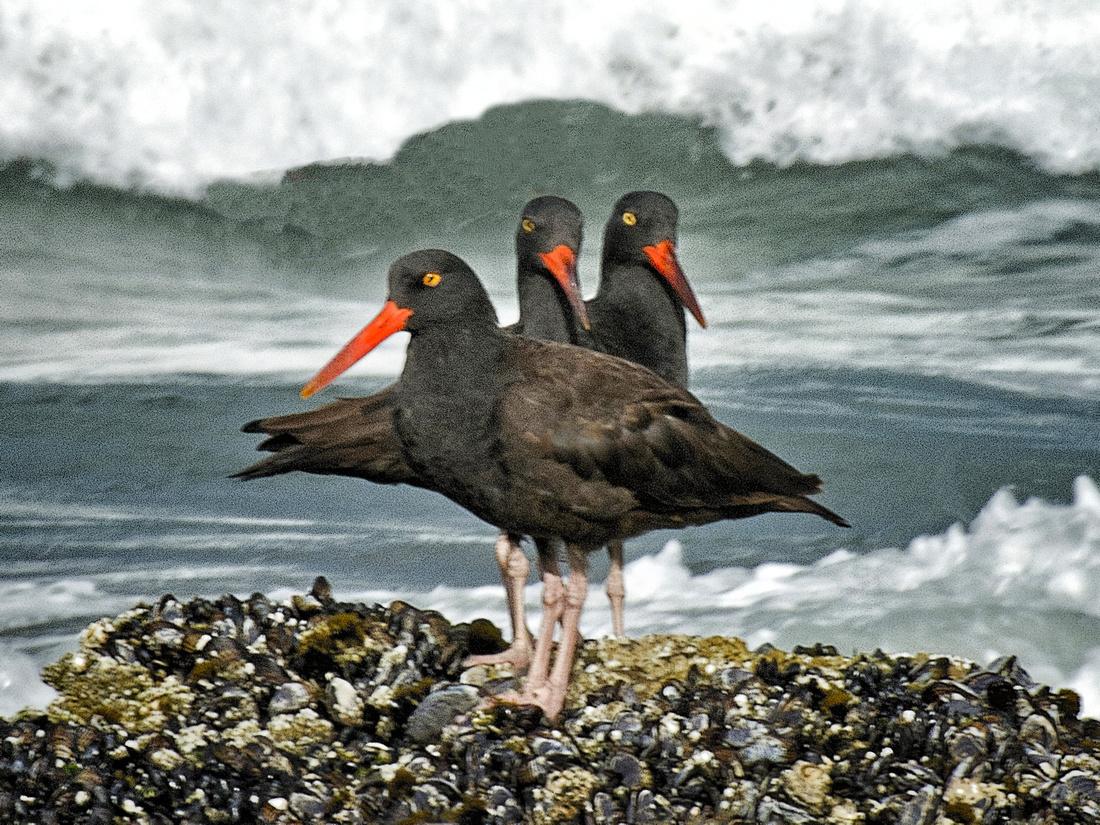 Three Oystercatchers