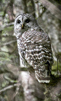 Barred Owl Near Dungeness River