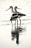 Dance of the Avocets